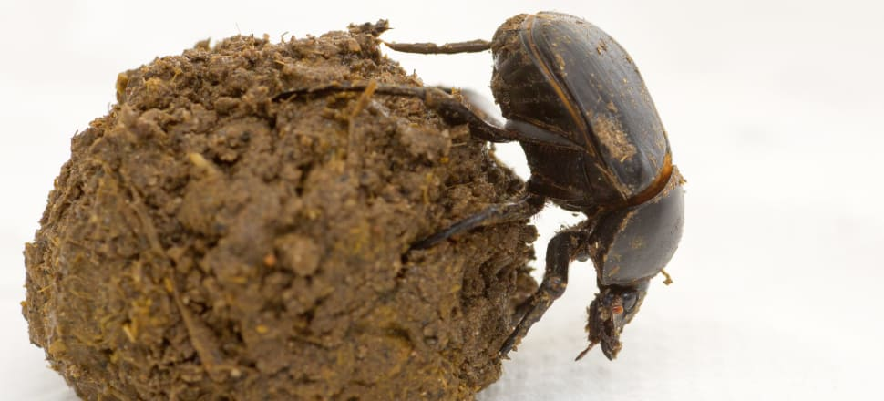 New Zealand has piles of dung, but no dung beetles to dispose of it. And that's a problem. Photo: Getty Images.