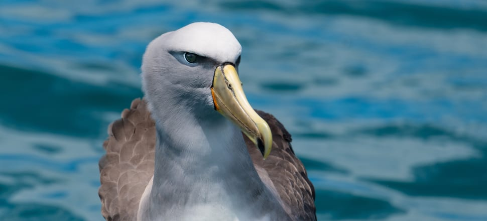 They're one step away from extinction, yet 11 Salvin's albatross were reported as caught by commercial fishing boats. Photo: Getty Images