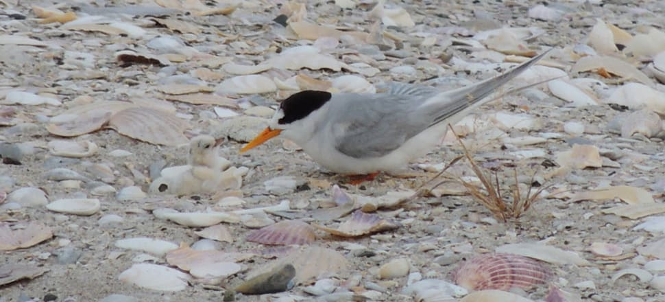 Fairy tern chicks are vulnerable to people, dogs, predators and vehicles. Photo: Supplied