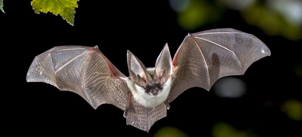 As human and bat habitat collides more diseases are likely to spill over from bats to humans or domesticated animals. Photo: Getty Images