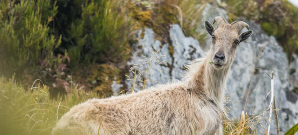 A juvenile tahr. Photo: Supplied/Department of Conservation