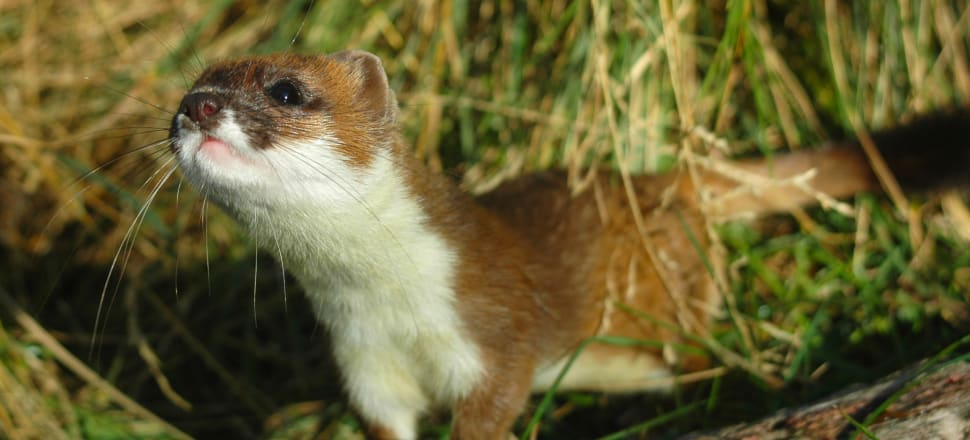 """New Zealand's """"lion"""" and extreme athlete, the stoat. Photo: Dr Patrick Garvey, Manaaki Whenua Landcare Research"""