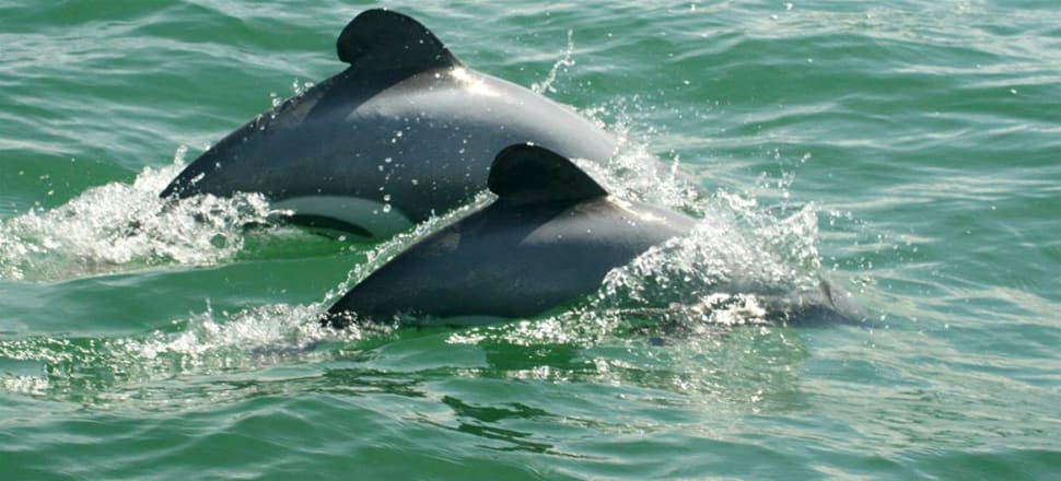 Māui dolphins are about the size of a 10-year-old child. Photo: Martin Stanley/DOC