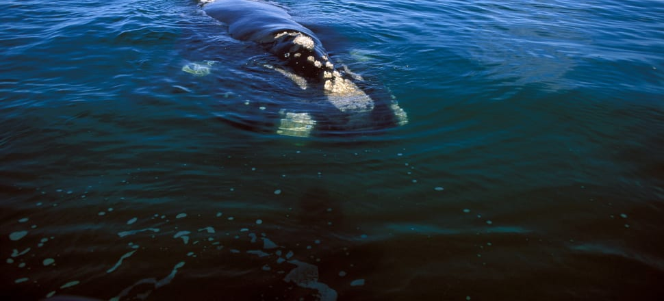 Where do tohorā (southern right whales) go when they leave the sub-Antarctic and which route do they take to get there? Photo: Getty Images