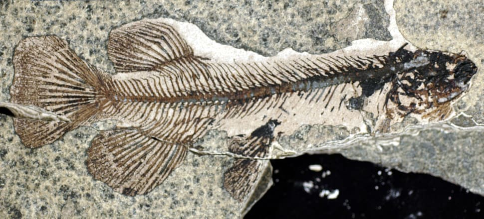 Fossils like this extinct Galaxias effusus have been found in Foulden Maar. Photo: Supplied