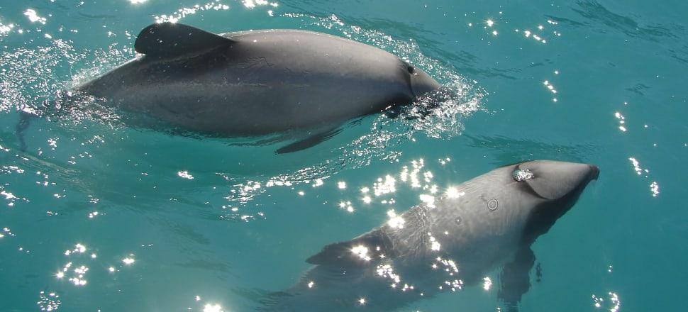 Hector's dolphin. Photo: Danica Stent