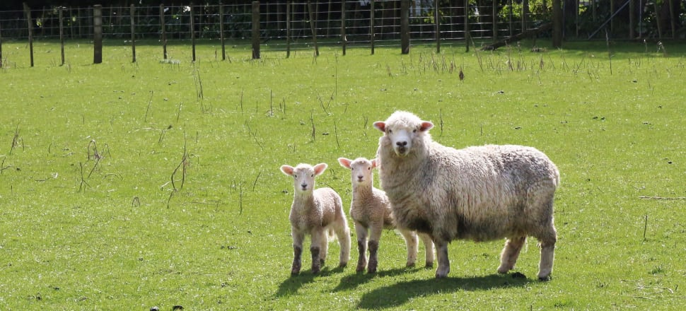 Woolly sheep bring sheer excitement to competitors