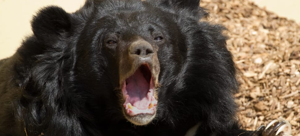 New Zealand's first case of Asiatic black bear bile smuggling sparked a stern warning and threat of jail.  Photo: Tony Hisgett from Birmingham, UK, https://commons.wikimedia.org/w/index.php?curid=27317590