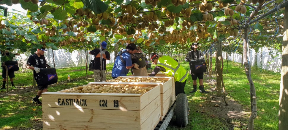 Time is of the essence to get the nation's kiwifruit crop picked.  Photo: Supplied,