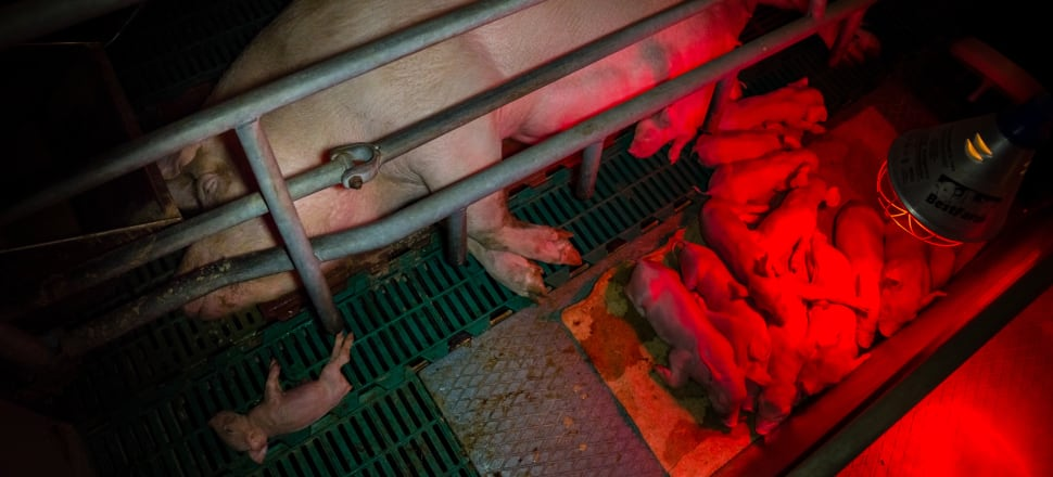 A pig feeds her offspring from a farrowing crate. If people breeding dogs kept them in similar conditions they would be prosecuted. File photo: Getty Images