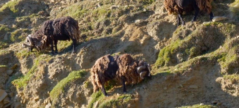 Arapawa sheep. Photo: Supplied