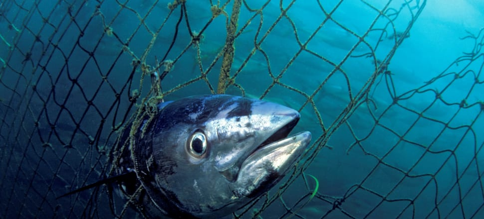 Dead Southern bluefin tuna caught in a tuna pen in South Australia. Humans have polluted and overfished our oceans, destroyed more than 85 percent of our wetlands, and left one million species threatened with extinction. Photo: © naturepl.com/David Fleetham /WWF