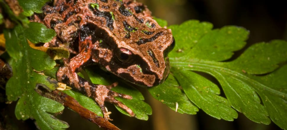 The Archey's frog is only found in the Coromandel and Te Kūiti. Photo: Phil Bishop