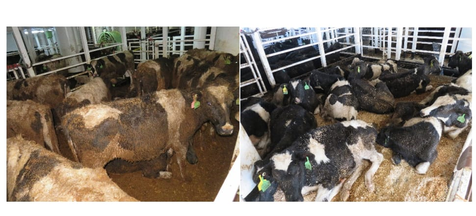 Australian cattle aboard the Gulf Livestock 1 ship in 2019. Photos: SAFE